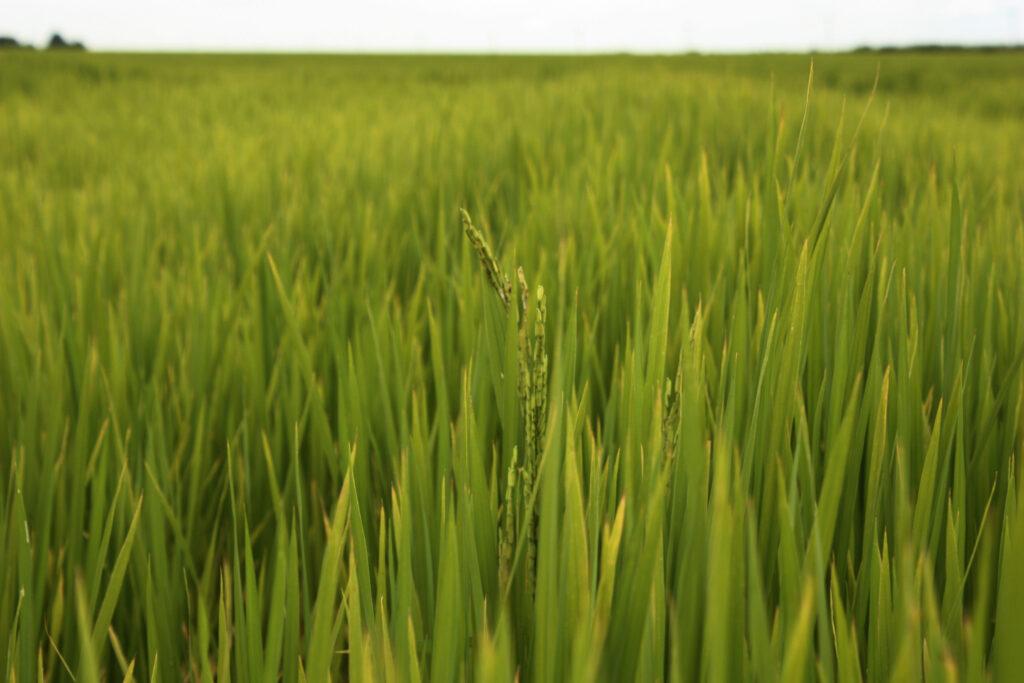 El arroz requiere radiación solar y agua por inundación para su desarrollo. Foto: Verónica Puig